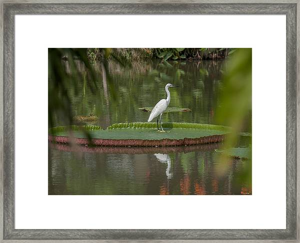Queen Victoria Water Lily Pad With Little Egret Dthb1618 Framed Print