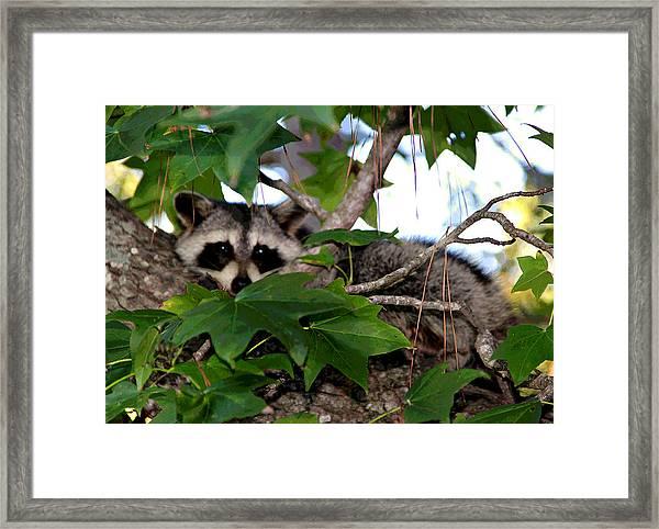 Raccoon Eyes Framed Print