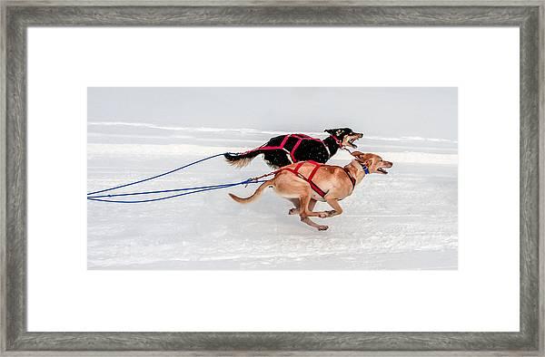 Racing Sled Dogs Framed Print