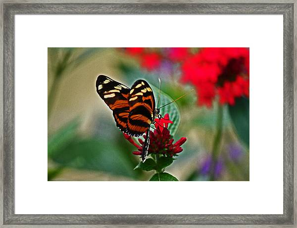 Radiant Butterfly Framed Print