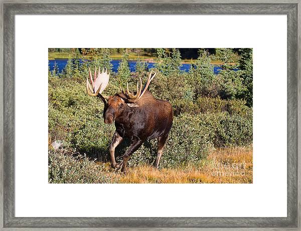 Charging Bull Framed Print