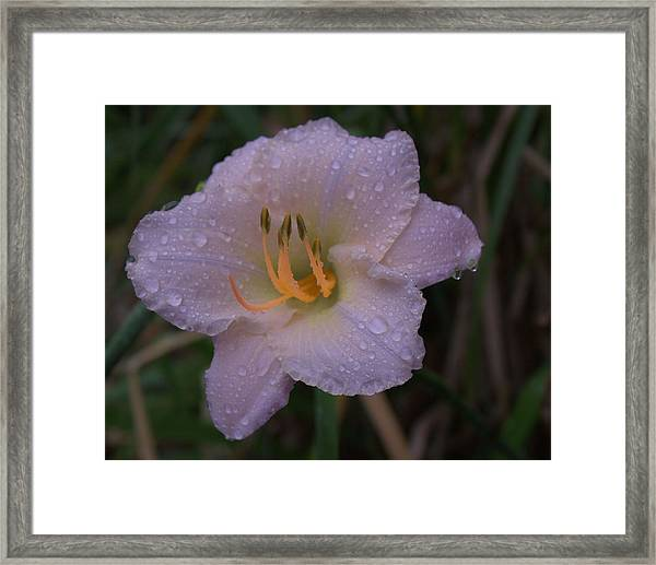 Rain Daylilly 2 Framed Print
