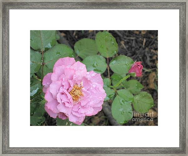 Rain Kissed Rose Framed Print