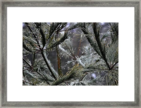 Rain On Pine Needles Framed Print
