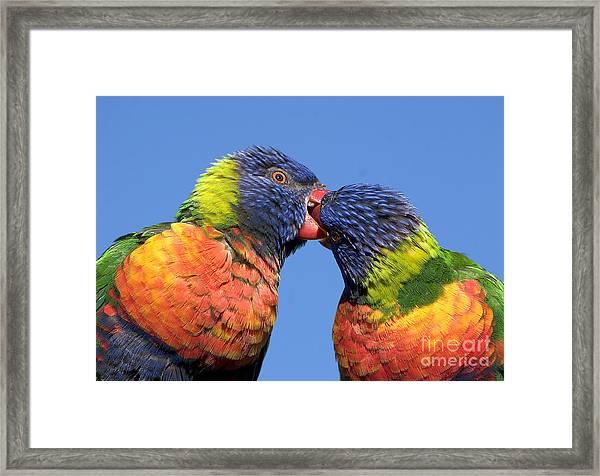 Rainbow Lorikeets Framed Print