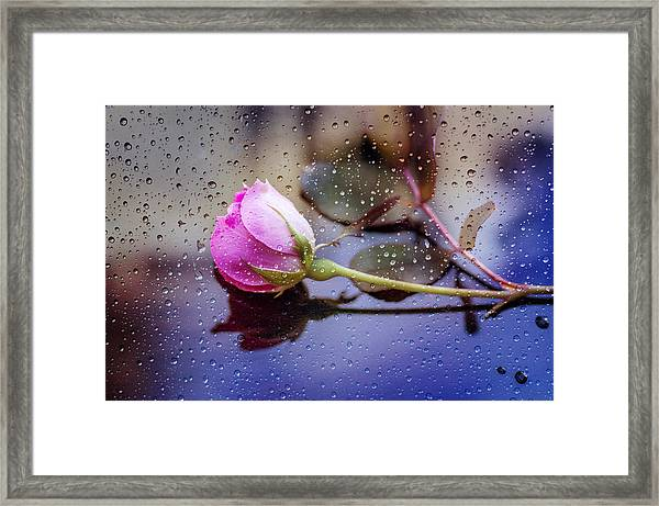 Raindrops And The Rose Framed Print