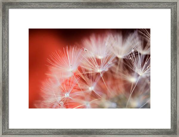Raindrops On Dandelion Red Framed Print