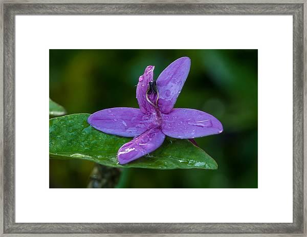Raindrops On Purple Petals Framed Print