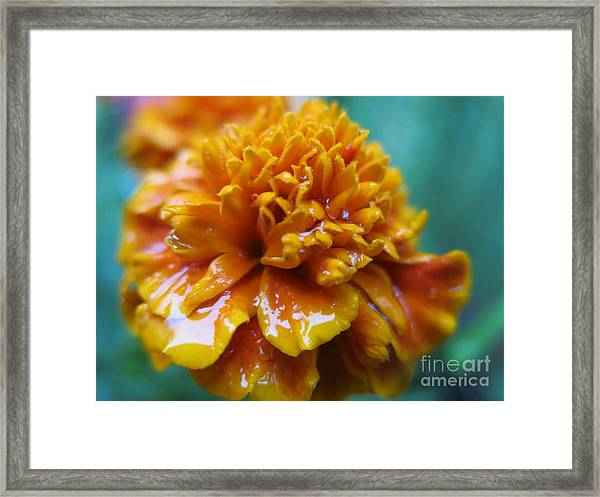 Rainy Marigolds Framed Print