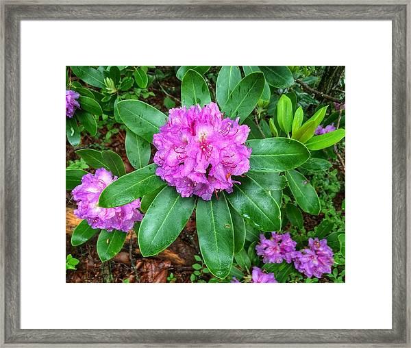 Rainy Rhodo Framed Print
