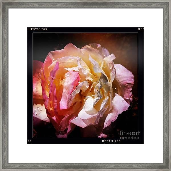 Rainy Rose Framed Print