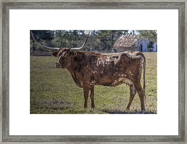 Red 507 Longhorn Framed Print