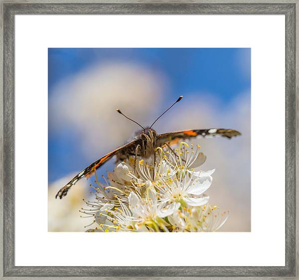 Red Admiral Butterfly On Plum Blossoms Framed Print