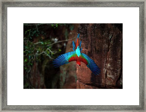 Red-and-green Macaw Flying Framed Print