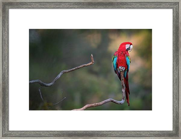 Red-and-green Macaw Sitting On Branch Framed Print