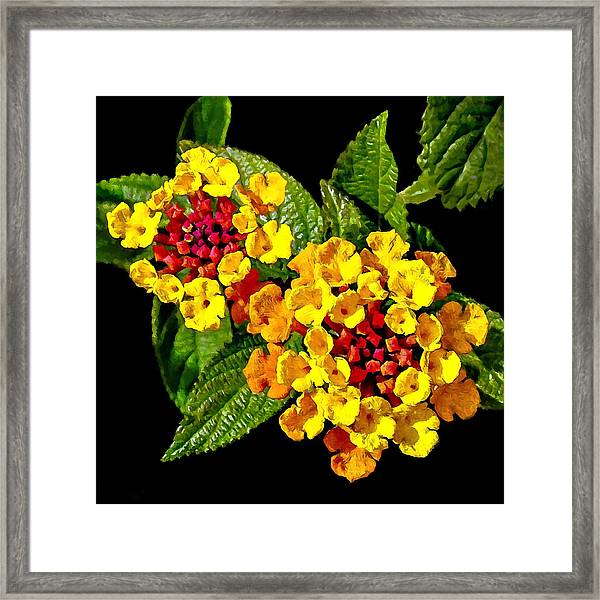 Red And Yellow Lantana Flowers With Green Leaves Framed Print