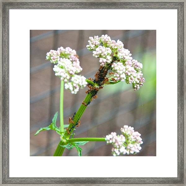 Red Ants And Valerian Officinalis Framed Print