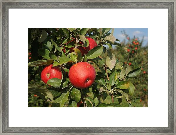 Red Apple Growing On Tree Framed Print