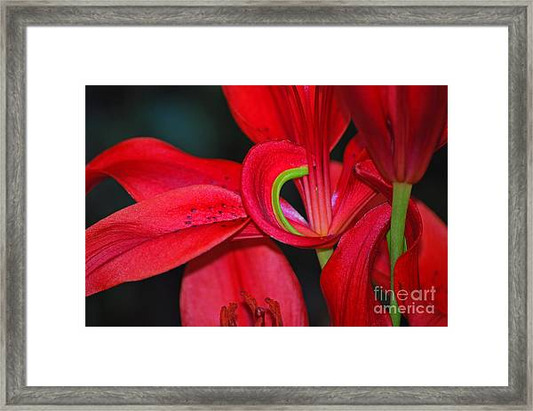 Red Asiatic Lily Framed Print