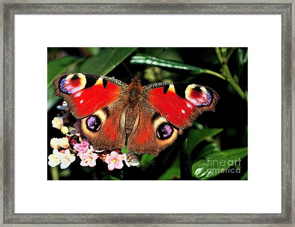 Red Butterfly In The Garden Framed Print