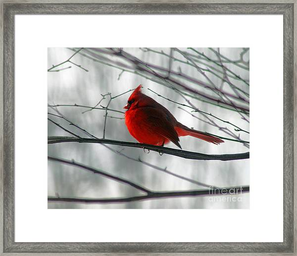 Red Cardinal On Winter Branch  Framed Print