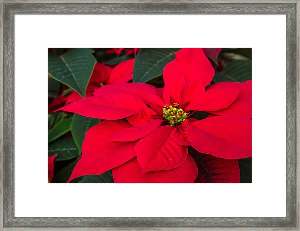 Red Christmas Beauty Framed Print
