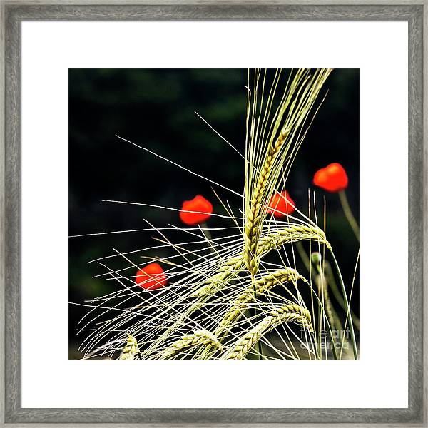 Red Corn Poppies Framed Print
