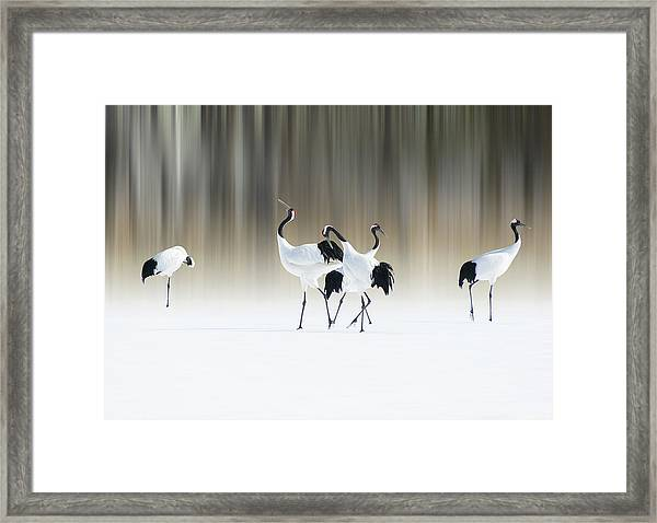 Red-crested White Cranes Framed Print by Ikuo Iga