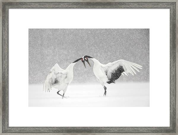 Red Crowned Crane Courtship Dance Framed Print