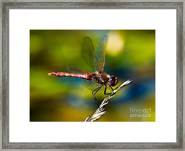 Framed Print featuring the photograph Red Dragonfly by Mae Wertz