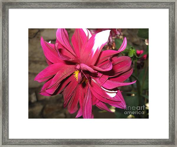Red Flower In Bloom Framed Print