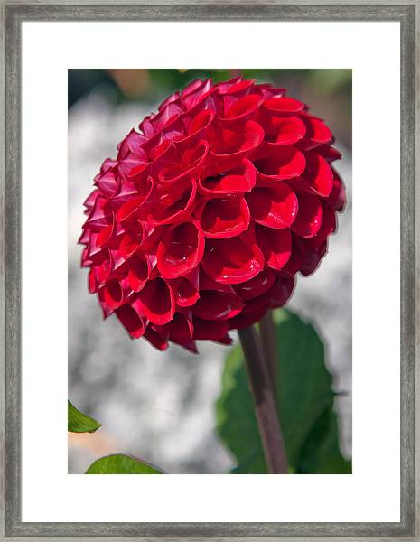 Red Flower With White Background Framed Print