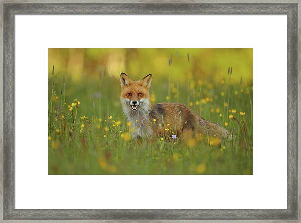 Red Fox Framed Print by Assaf Gavra