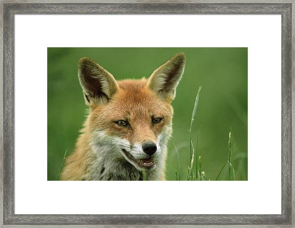 Red Fox Framed Print by Duncan Shaw/science Photo Library