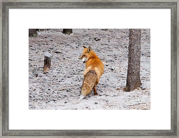 Red Fox Egg Thief Framed Print