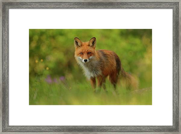 Red Fox Lady Framed Print by Assaf Gavra