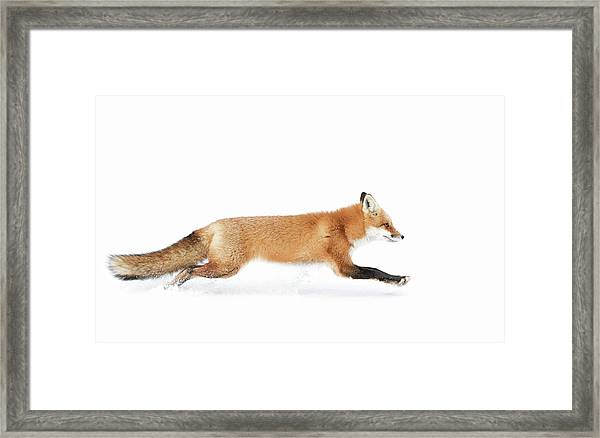 Red Fox On The Run - Algonquin Park Framed Print