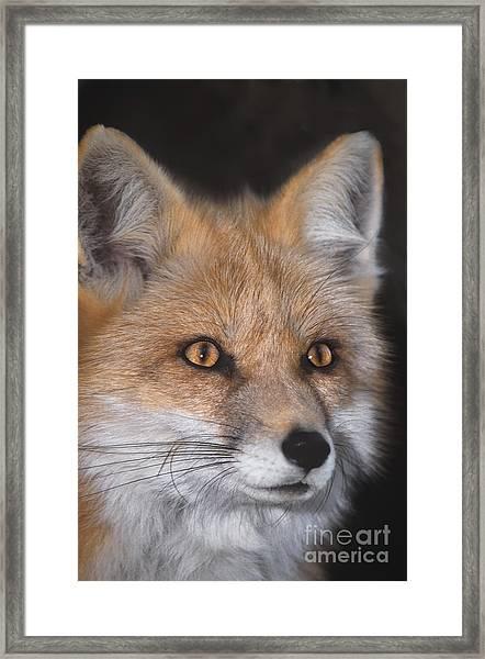 Red Fox Portrait Wildlife Rescue Framed Print