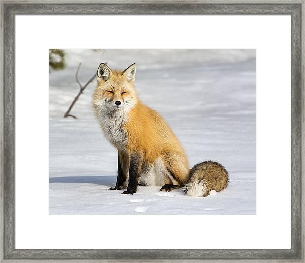 Red Fox Sitting Framed Print