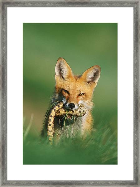Red Fox With Snake Framed Print
