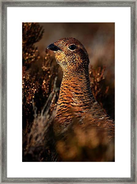 Red Grouse Framed Print