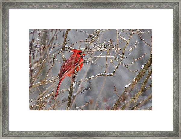 Red Hot In A Snowstorm Framed Print