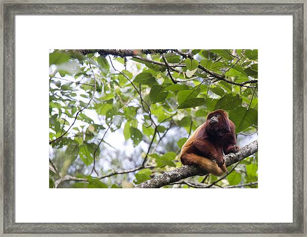 Red Howler Monkey Sitting In A Tree Framed Print