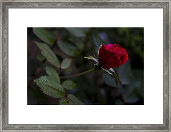 Red Knockout Rose Framed Print