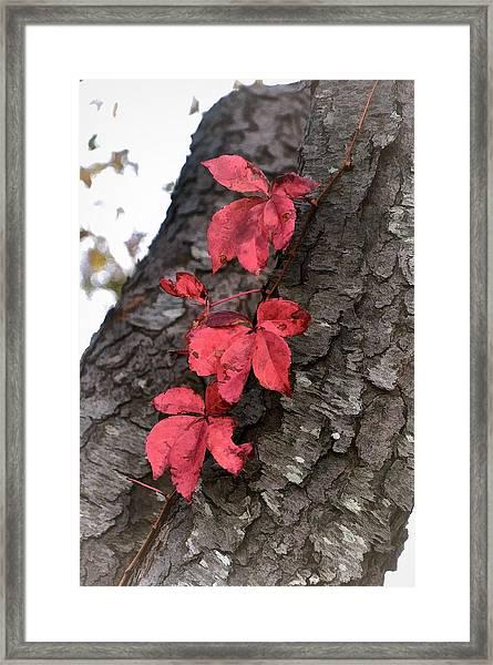 Red Leaves On Bark Framed Print
