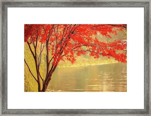 Red Maple Besides River Framed Print