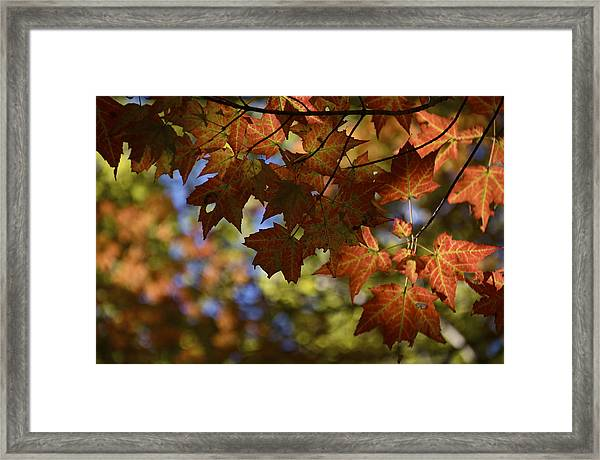 Red Maple Canopy Framed Print