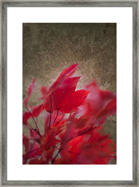 Red Maple Dreams Framed Print