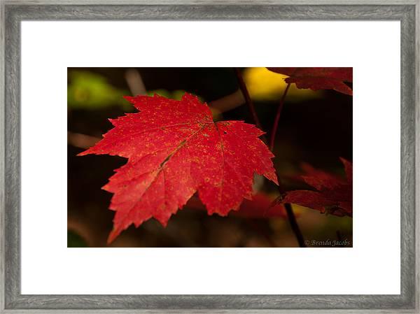 Red Maple Leaf In Fall Framed Print