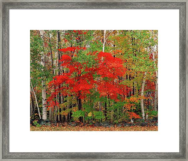 Red Maple Tree And White Birch Trees In Framed Print